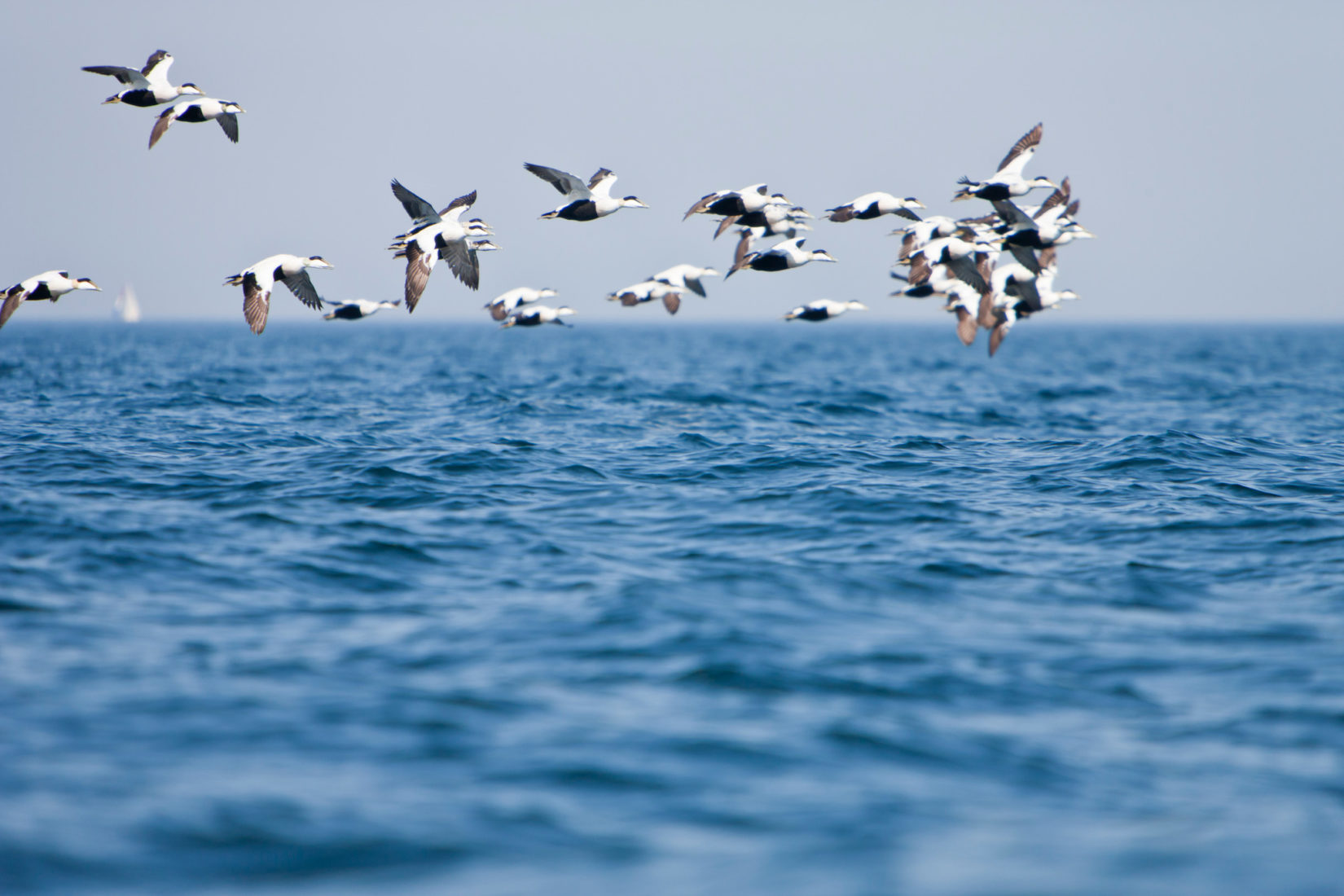 Birds flying across the Baltic Sea.