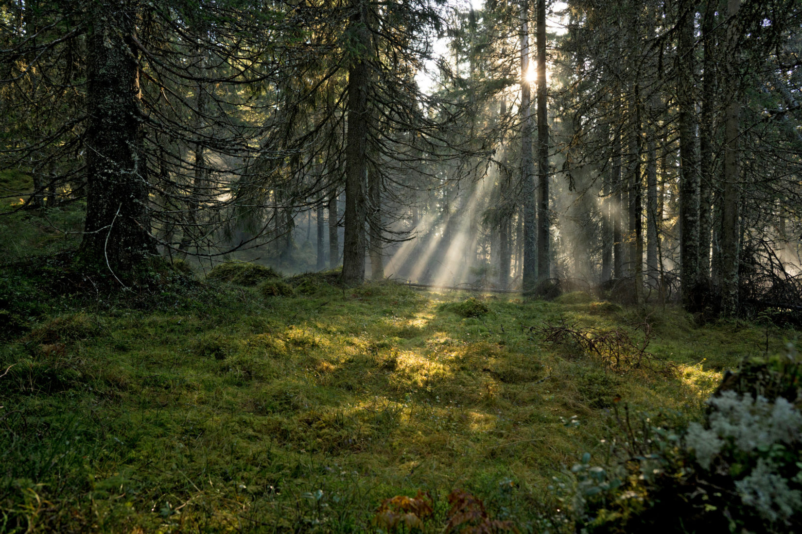 Sunrays in a pine forest