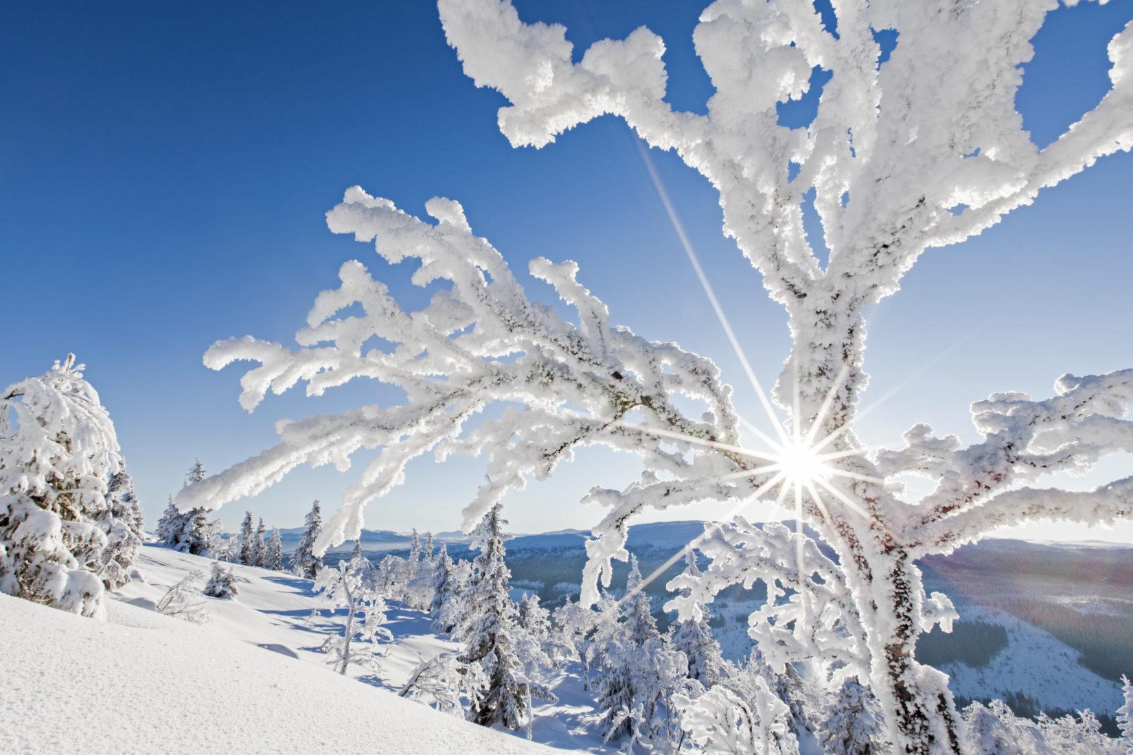 Snötäckta grenar mot en blå himmel.